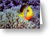 Anemone  Greeting Cards - Clown Fish In Sea Anemone Greeting Card by Capture the World by LL