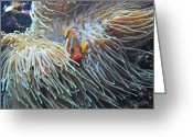 Clown Fish Greeting Cards - Clown Fish Greeting Card by Michael Peychich