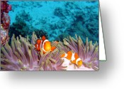Coral Reef Greeting Cards - Clown Fishes Greeting Card by Takau99