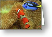 Tropical Climate Greeting Cards - Clownfish And Regal Tang Greeting Card by Aamir Yunus