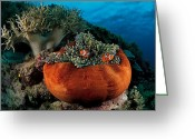 Sea Anemones Greeting Cards - Clownfish Burrow In The Tentacles Greeting Card by David Doubilet