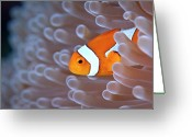 Anemone  Greeting Cards - Clownfish In White Anemone Greeting Card by Alastair Pollock Photography