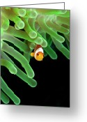 Anemone  Greeting Cards - Clownfish On Green Anemone Greeting Card by Alastair Pollock Photography