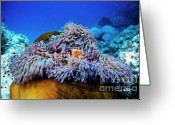 Sea Anemones Greeting Cards - Clownfish peeking out of a magnificent sea anemone Greeting Card by Sami Sarkis