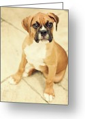 Innocence Greeting Cards - Clyde- Fawn Boxer Puppy Greeting Card by Jody Trappe Photography