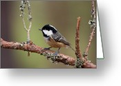 Birdwatcher Greeting Cards - Coal Tit Periparus ater Greeting Card by Gabor Pozsgai