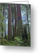 Del Norte Greeting Cards - Coast Redwood Opld Growth Stand Del Greeting Card by Tim Fitzharris