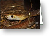 Snake Scales Greeting Cards - Coastal Taipan Greeting Card by Kaye Menner