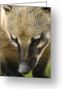 Coon Greeting Cards - Coati Greeting Card by Adrian Bicker