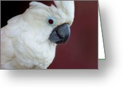 Umbrella Cockatoo Greeting Cards - Cockatoo Portrait Greeting Card by Jai Johnson