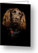 Cocker Spaniel Greeting Cards - Cocker Spaniel Puppy Greeting Card by Andrew Davies