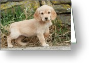 Yellow Dog Greeting Cards - Cocker Spaniel Puppy (canis Lupus Familiaris), Uk Greeting Card by Nick Ridley