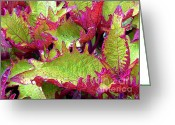Morning Mist Images Greeting Cards - Coleus with Raindrops Greeting Card by Judi Bagwell
