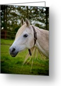 Dressage Photo Greeting Cards - Collared Arabian Greeting Card by Odd Jeppesen