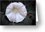 Thorn Apple Greeting Cards - Color 113 Greeting Card by Pamela Cooper