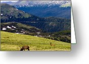 Graze Photo Greeting Cards - Colorado Elk Greeting Card by Marilyn Hunt