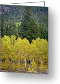 Wall Calendars Greeting Cards - Colorado Golden Aspens Greeting Card by Brent Parks