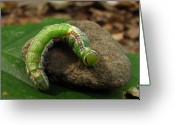 Oldgrowth Greeting Cards - Colorful Caterpillar  Greeting Card by Joshua Bales
