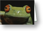 Red-eyed Frogs Greeting Cards - Colorful Close View Of Red-eyed Tree Greeting Card by Jason Edwards