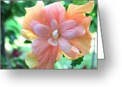 Tangerines Greeting Cards - Colorful Hibiscus Greeting Card by Karen Nicholson