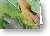 Fall Colors Greeting Cards - Colorful Oak Tree Leaves Greeting Card by Jennie Marie Schell