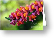 Flower Buds Greeting Cards - Colorful Snapdragon Greeting Card by Kaye Menner