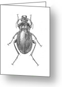 Insect Drawings Greeting Cards - Colosma Beetle Greeting Card by Logan Parsons