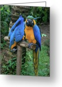 Ara Ararauna Greeting Cards - Colourful Macaw Pohakumoa Maui Hawaii Greeting Card by Sharon Mau