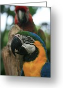 Ara Ararauna Greeting Cards - Colourful Macaw Greeting Card by Sharon Mau