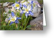 Colorado Mountain Greeting Cards Greeting Cards - Columbine Colorado State Flower Greeting Card by James Steele