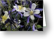 Digital Image Greeting Cards - Columbines Loveland Colorado Greeting Card by Paul Shefferly