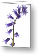 High Colour Vivid Color Greeting Cards - Common bluebell Hyacinthoides non-scripta Greeting Card by Gabor Pozsgai