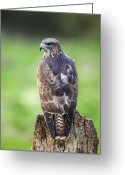 Buzzard Photo Greeting Cards - Common Buzzard Greeting Card by Colin Varndell