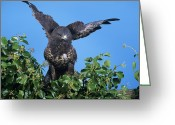 Buzzard Wings Greeting Cards - Common Buzzard Greeting Card by David Aubrey
