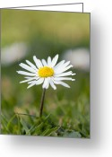 Bellis Greeting Cards - Common Daisy (bellis Perennis) Greeting Card by Duncan Shaw
