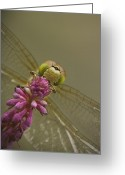 Biting Greeting Cards - Common Darter Dragonfly Greeting Card by Andy Astbury
