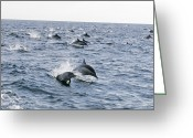 Pods Greeting Cards - Common Dolphin Delphinus Delphis Pod Greeting Card by Rich Reid