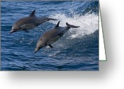 Conformity Greeting Cards - Common Dolphin Pair Jumping Baja Greeting Card by Suzi Eszterhas