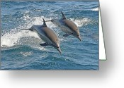 Splashing Greeting Cards - Common Dolphins Leaping Greeting Card by Tim Melling