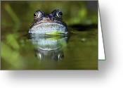 Common Greeting Cards - Common Frog In Pond Greeting Card by Iain Lawrie
