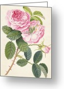 Pink Flower Branch Painting Greeting Cards - Common Provence Rose Greeting Card by Georg Dionysius Ehret