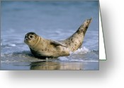 Carnivores Greeting Cards - Common Seal Phoca Vitulina On Beach Greeting Card by Ingo Arndt