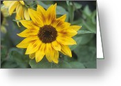 Music Box Greeting Cards - Common Sunflower music Box Flowers Greeting Card by Adrian Thomas