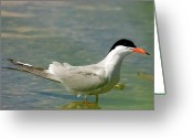 Tern Greeting Cards - Common Tern Portrait Greeting Card by Cliff  Norton
