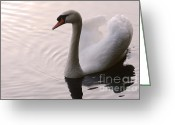 Canada Swan Greeting Cards - Completely Elegant Greeting Card by Bob Christopher