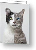 Two-faced Greeting Cards - Composite Portrait Of Two Different Cats Greeting Card by John Lund