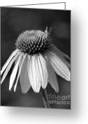 Cone Flower Greeting Cards - Cone Flower and a Bee Greeting Card by Sabrina L Ryan
