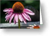 Nc Greeting Cards - Coneflower AKA Echinacea Greeting Card by John Haldane