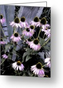 Franklin Park Conservatory Digital Art Greeting Cards - Coneflowers in Abstract Greeting Card by Beth Akerman
