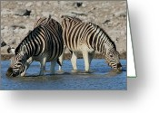 Waterhole Greeting Cards - Confusion Greeting Card by Bruce J Robinson